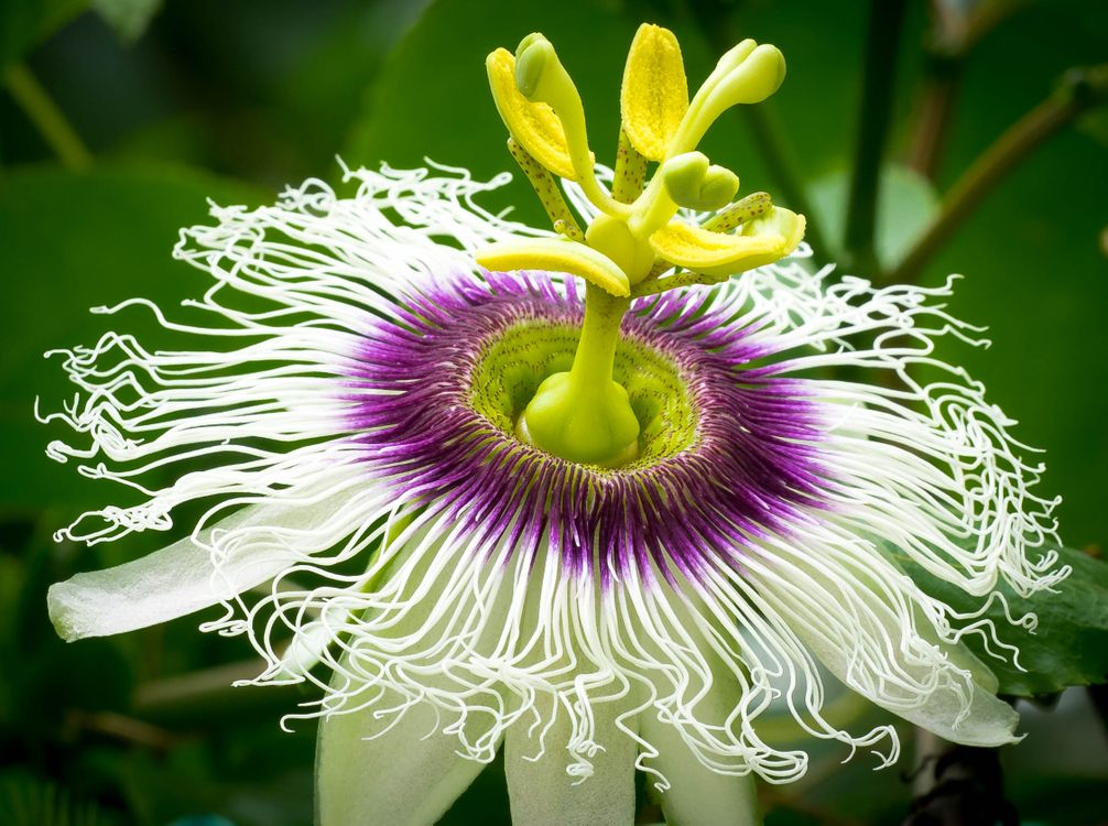 Фото бесплатно Passiflora, цветок, цветы - на рабочий стол