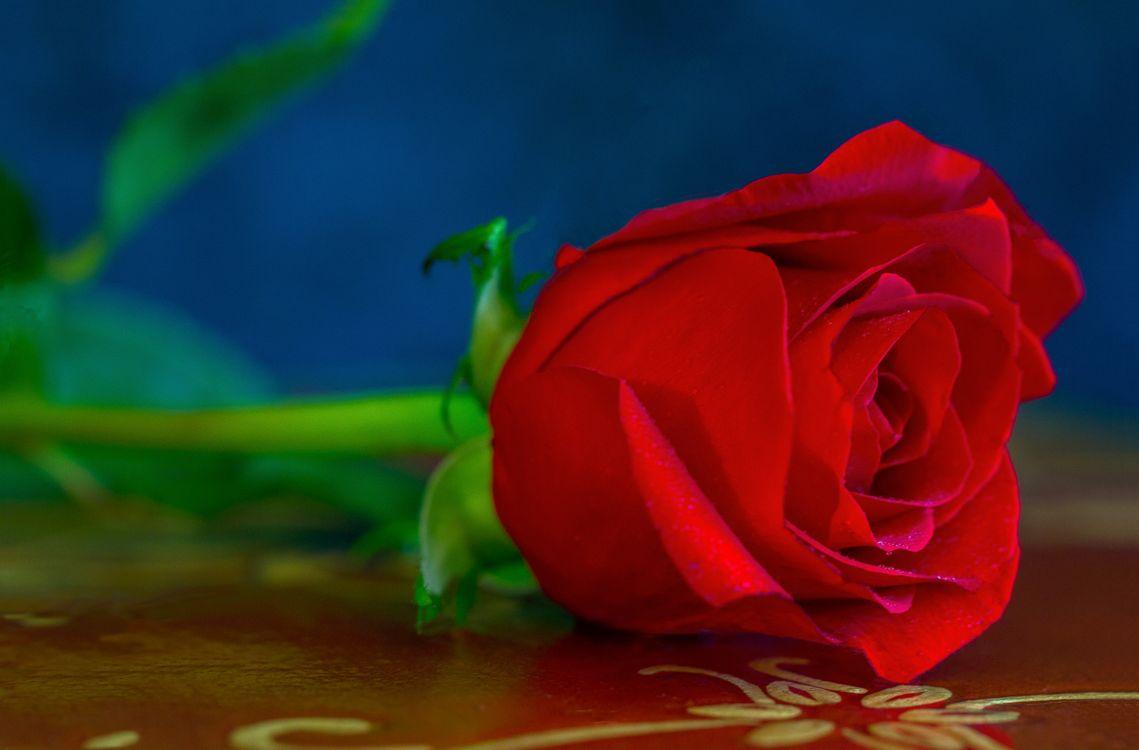 Обои роза, розы, цветок картинки на телефон