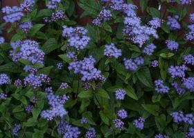 Фото бесплатно Hardy Ageratum, Харди Агератум, цветы