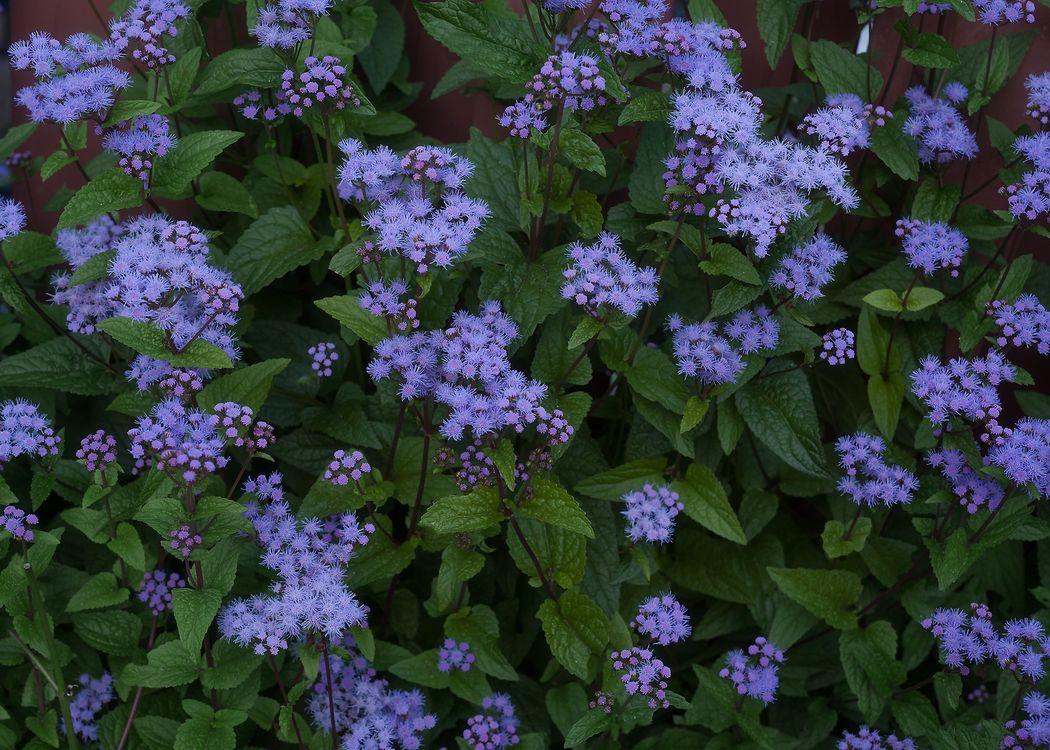Фото бесплатно Hardy Ageratum, Харди Агератум, цветы, клумба, флора, цветы