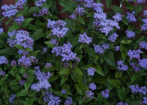 Бесплатные фото Hardy Ageratum,Харди Агератум,цветы,клумба,флора