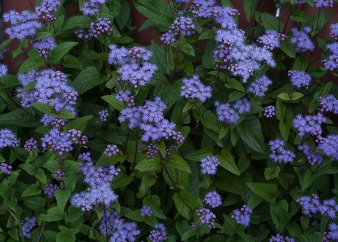 Заставки Hardy Ageratum, Харди Агератум, цветы