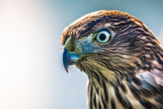 Фото бесплатно ястреб, перья, хищные птицы