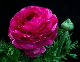 Фото бесплатно пион, цветы, флора
