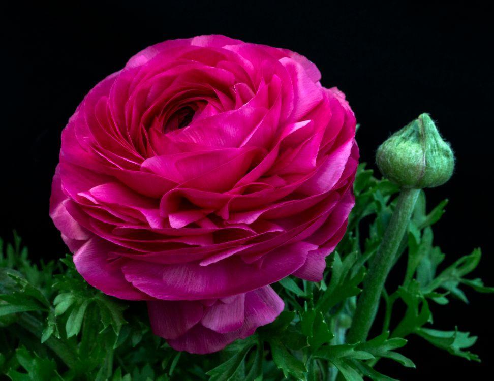 Фото бесплатно пион, цветы, флора - на рабочий стол