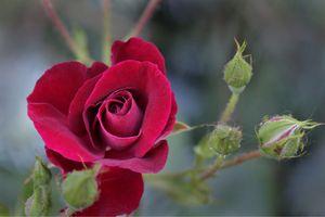 Распущенная роза