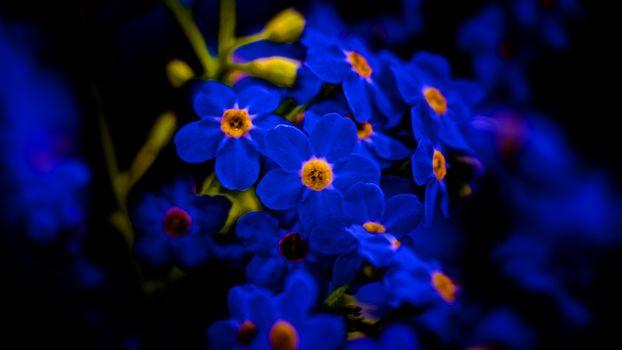Photo free flowers, blue, macro