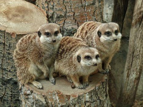 Трое сурикатов на пеньке · бесплатное фото