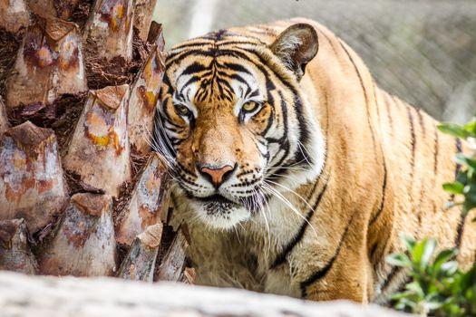 Фото бесплатно большая кошка, животное, тигр