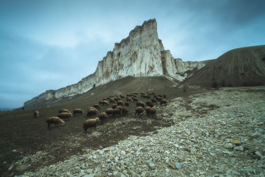 A flock of sheep at the foot of White Rock · free photo