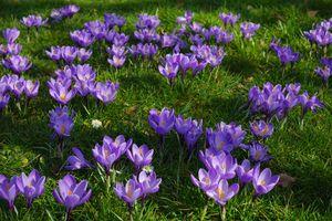 Бесплатные фото крокус,цветок,цвести,жёлтый,флора,весна,природа