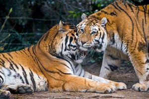 Заставки тигр тигры, дикая кошка, поза