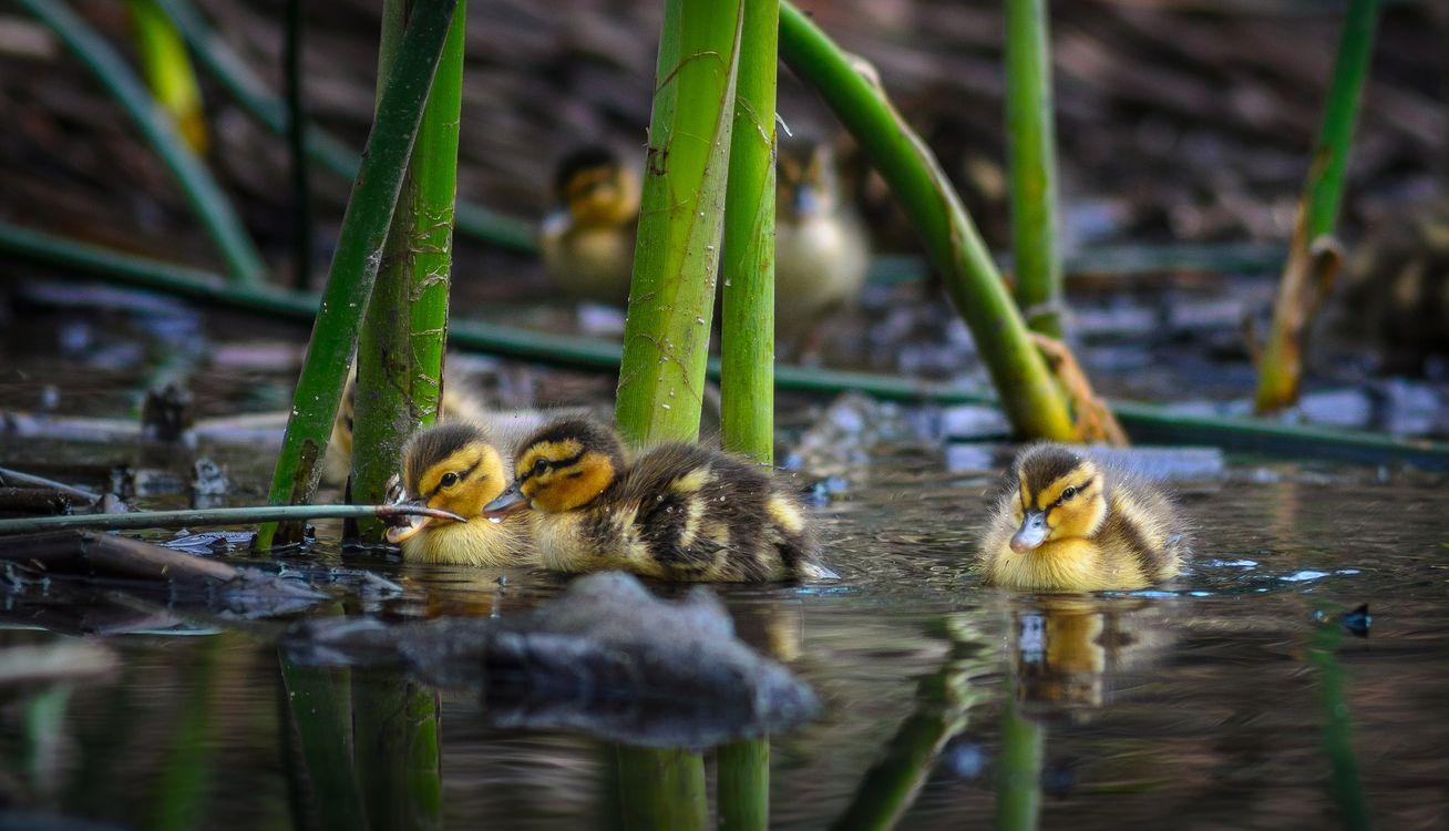 Фото бесплатно водоём, утята, птенцы, птицы, птицы