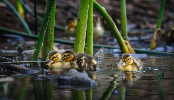 Фото бесплатно водоём, утята, птенцы, птицы