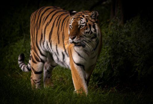 Картинка про амурский тигр, хищник