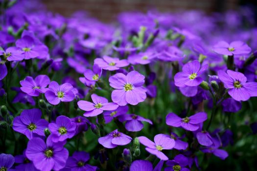 Photo free flowers purple, ground cover, close-up