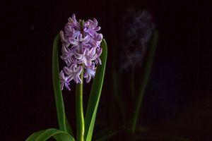 Бесплатные фото Красивые цветы, Цветы, Гиацинт, флора, чёрный фон