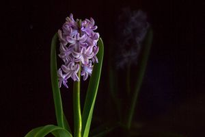 Заставки Красивые цветы, Цветы, Гиацинт