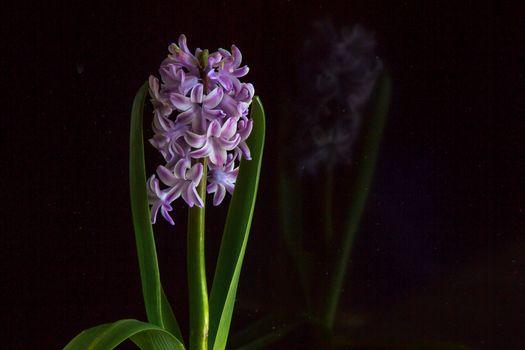 Бесплатные фото Красивые цветы,Цветы,Гиацинт,флора,чёрный фон