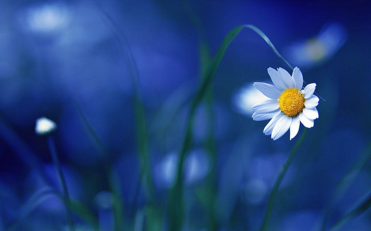 Daisy flower on blue background · free photo
