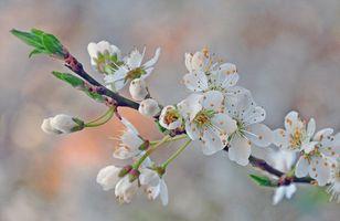 Заставки цветущая ветка, цветы, sakura, Cherry Blossoms, ветка, флора, весна, цветение, art