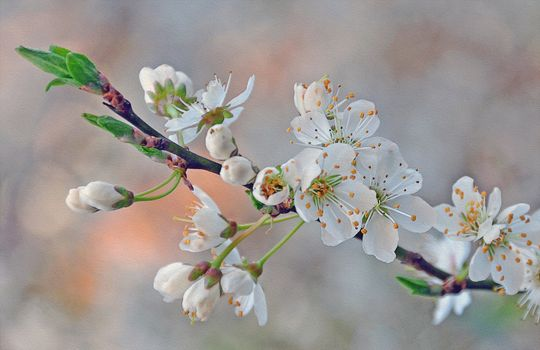 Бесплатные фото цветущая ветка,цветы,sakura,Cherry Blossoms,ветка,флора,весна,цветение,art