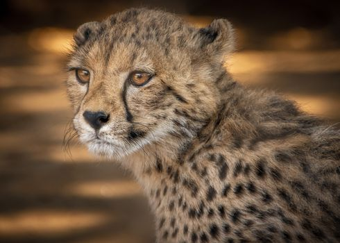 Photo free young Cheetah, predator, animal