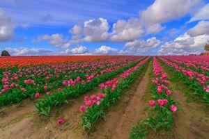 Фото бесплатно поле, тюльпаны, облако