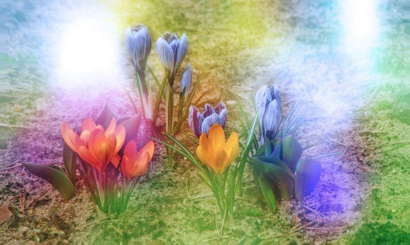 Бесплатные фото крокусы,весна,цветы,цветение,флора