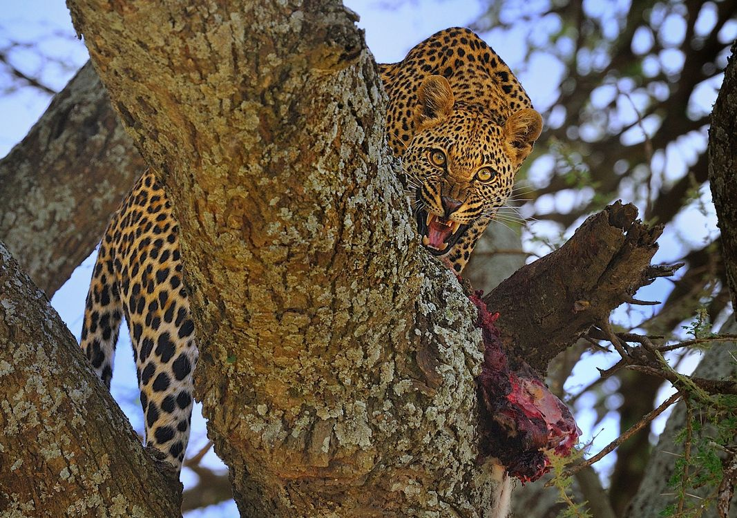 Best with leopards · free photo