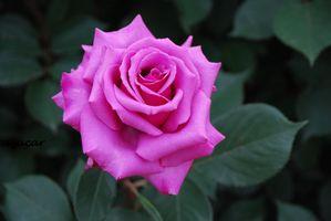 Роза и зеленые лепестки