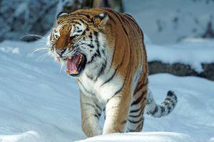 Тигр и сугробы
