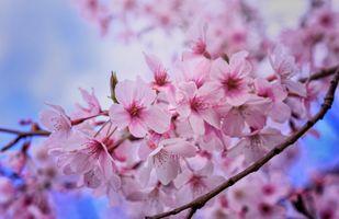 Розовые лепестки вишни