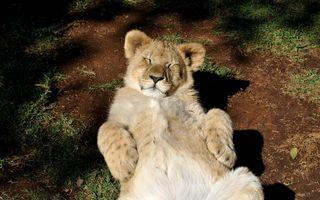 Львенок нежится к верху лапками
