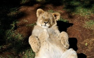 Lion basking to the top of the legs · free photo