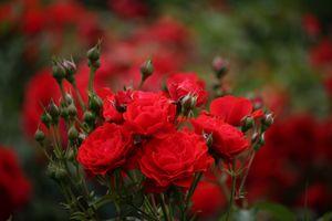 Фото бесплатно розы, цветочная композиция, флора