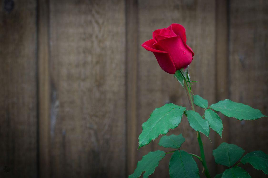 Фото бесплатно роза, розы, цветок - на рабочий стол