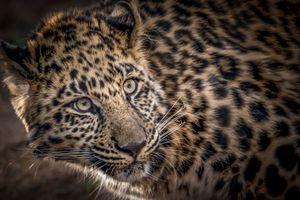 Фотографии леопарда · бесплатное фото