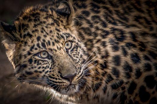 Фотографии леопарда