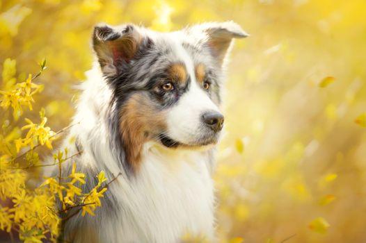 Photo free dog, Aussies, Australian Shepherd
