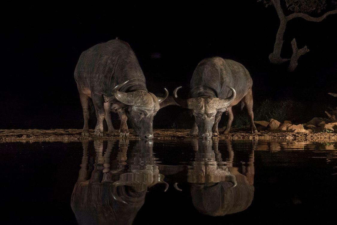 Фото бесплатно Буффало, ночь, Зиманга, Южная Африка, Африканский буйвол, водопой, животные, парнокопытные, рогатый скот, животные