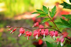 Бесплатные фото Дицентра,разбитое сердце,ветка,куст,растение,цветок,флора