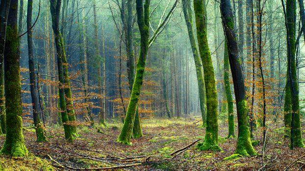 Фото бесплатно лес, деревья, зеленый, настроение, мох, растительность, окружающая среда, туман, природа, пейзаж