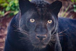 Фото бесплатно пантера, хищник, животное