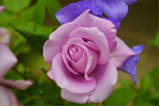 Фото бесплатно роза, розы, цветы, флора, цветение, цветочный, красочный