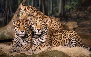 Бесплатные фото jaguars,кошки,ягуары