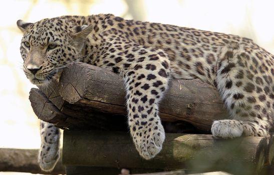 Фото бесплатно леопард, большая кошка, лень