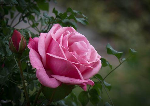 Фото бесплатно роза, розовый бутон, цветок