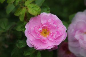 Сиреневая пионовидная роза