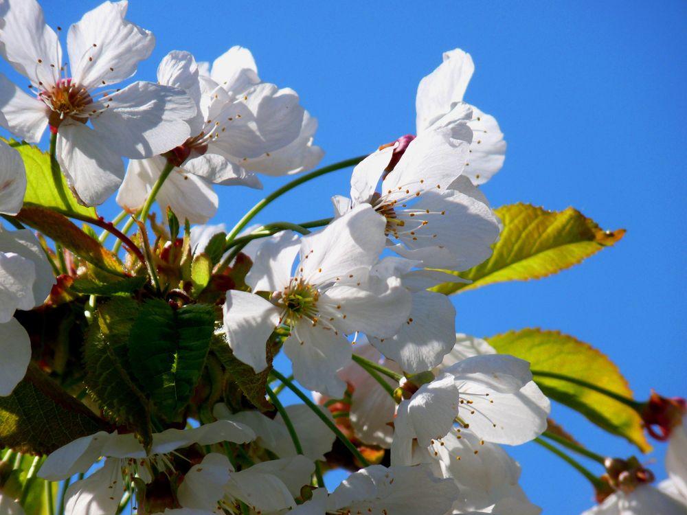Фото бесплатно вишневый цвет, белые цветы, сакура - на рабочий стол
